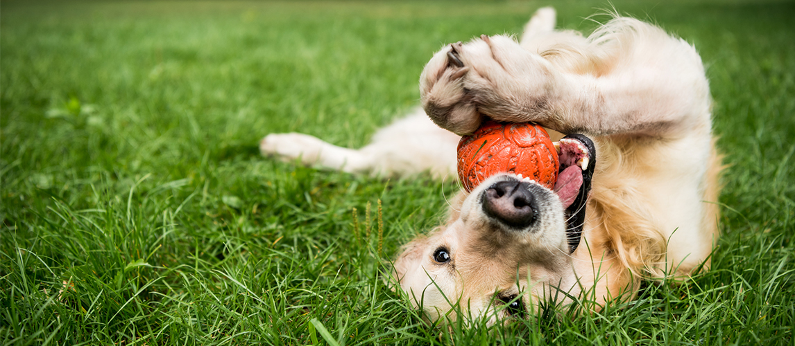 Golden retriever dog playing with rubber ball