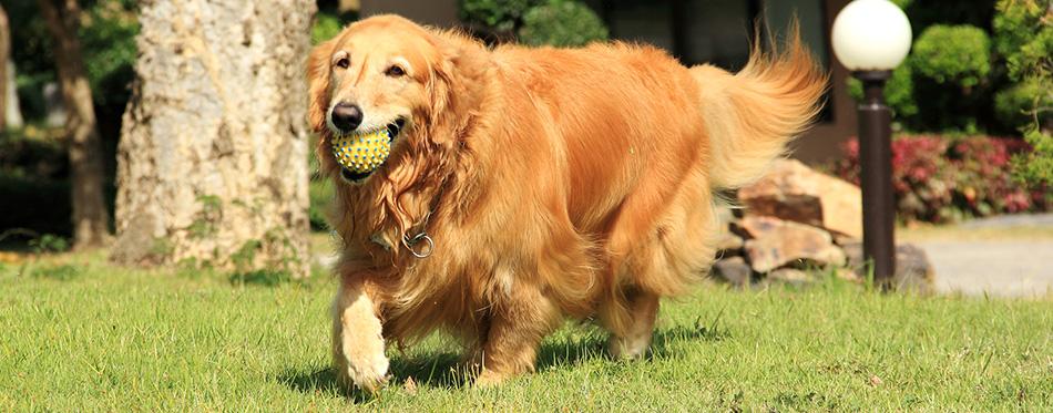 Golden retriever running with a ball