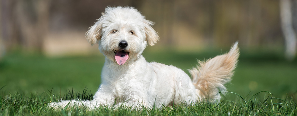 Goldendoodle dog lying on the grass