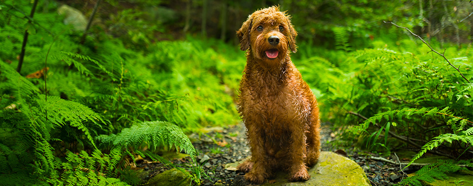Goldendoodle dog sitting on the rock
