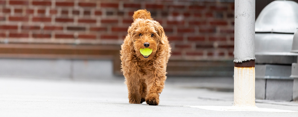 Goldendoodle dog with a ball
