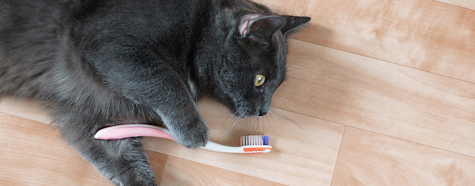 Gray cat lying on the floor of the room with a toothbrush.