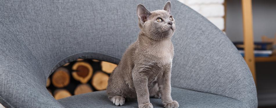 Grey kitten Burmese sitting on a gray fabric chair