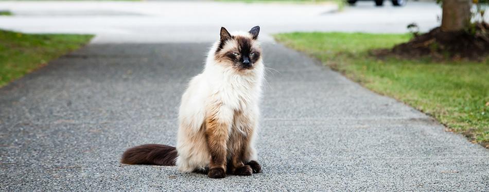 Grumpy Balinese Cat Sitting on Sidewalk near Road