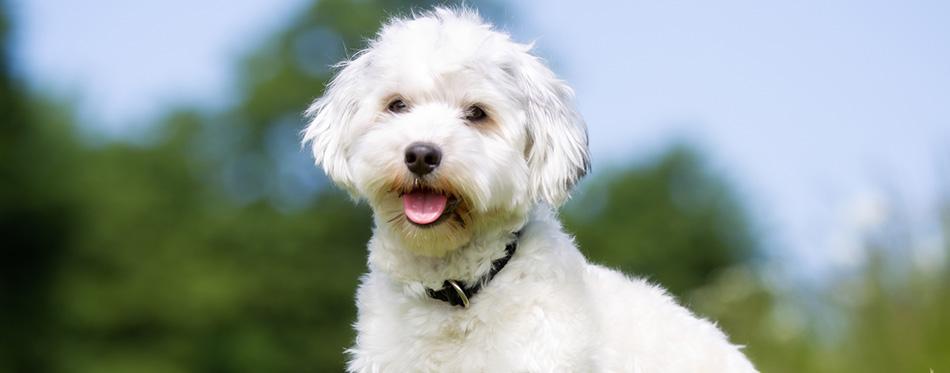 Happy and smiling Bichon Havanese dog