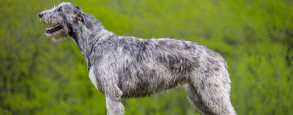 Irish Wolfhound stays on a green grass