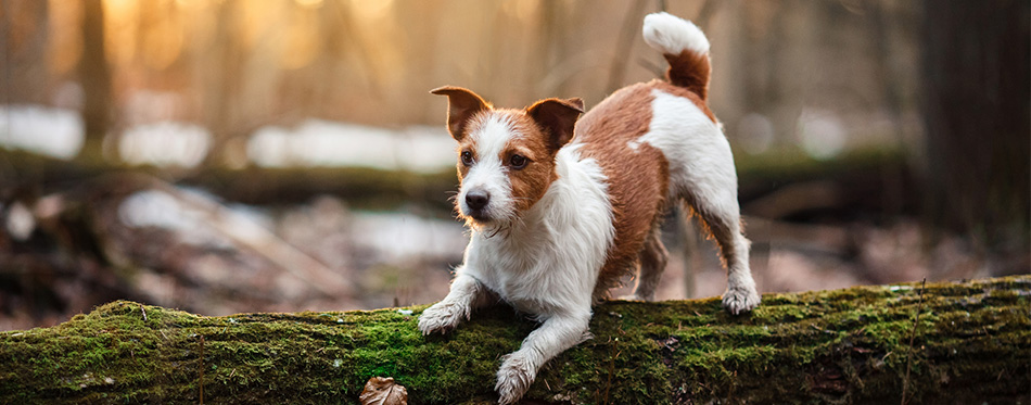 Jack Russell Terrier in the woods