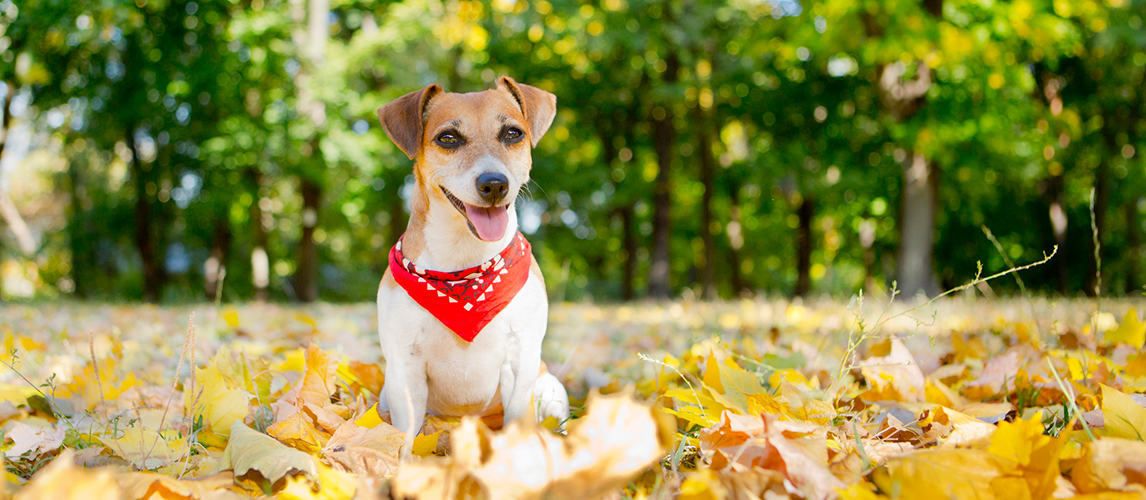 Jack Russell Terrier with bandana