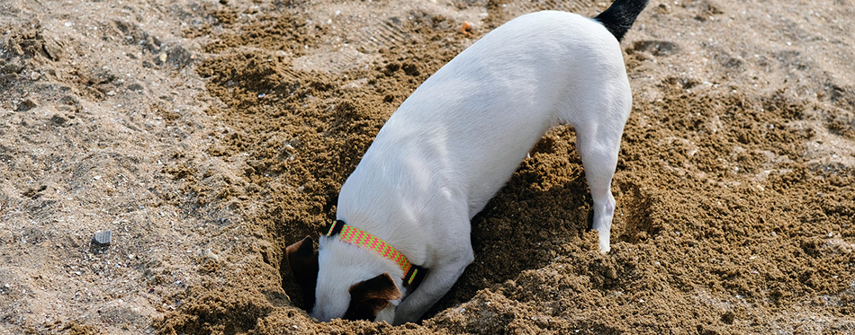 Jack russell dog digging a hole