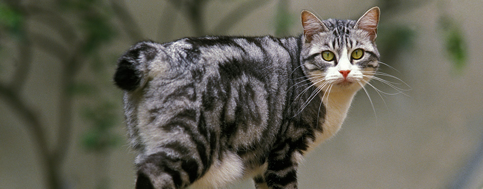 Japanese Bobtail Domestic Cat, Adult