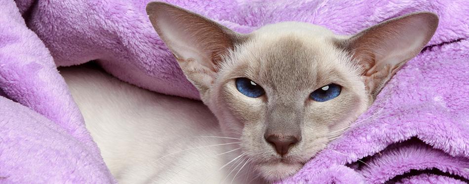 Javanese cat lying