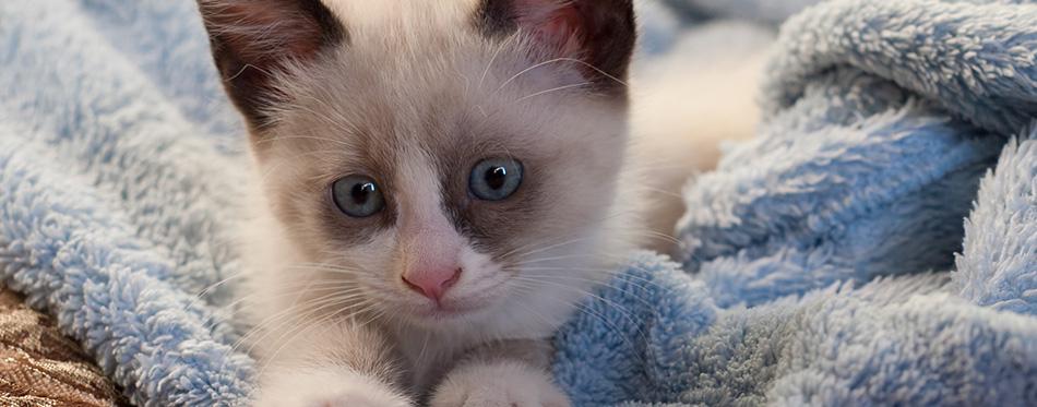 Kitten breed snowshoe