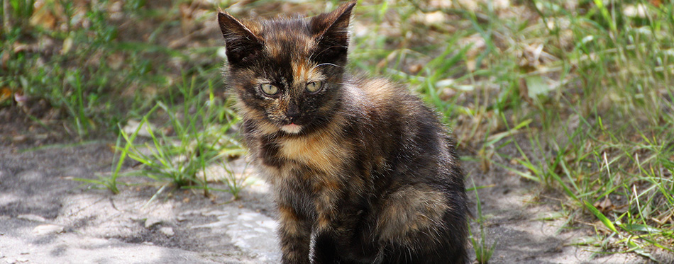 Kitten with tortoiseshell coloring.