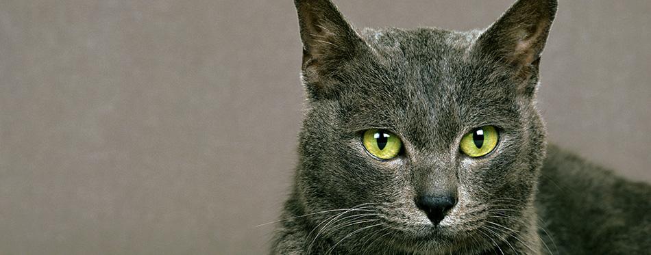 Korat Domestic Cat, natural background