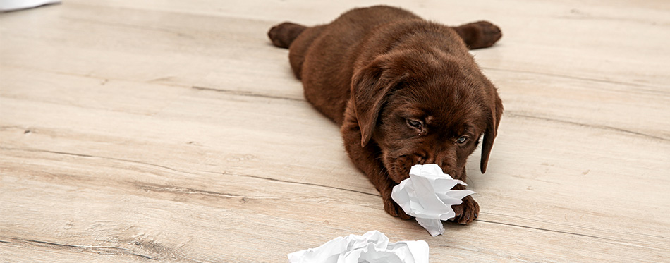 Labrador puppy eating paper