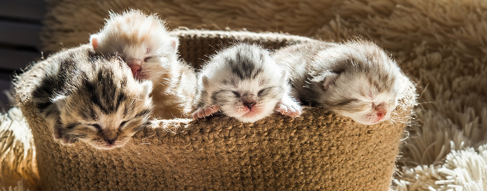 Little cute kittens of British breed in a knitted basket.