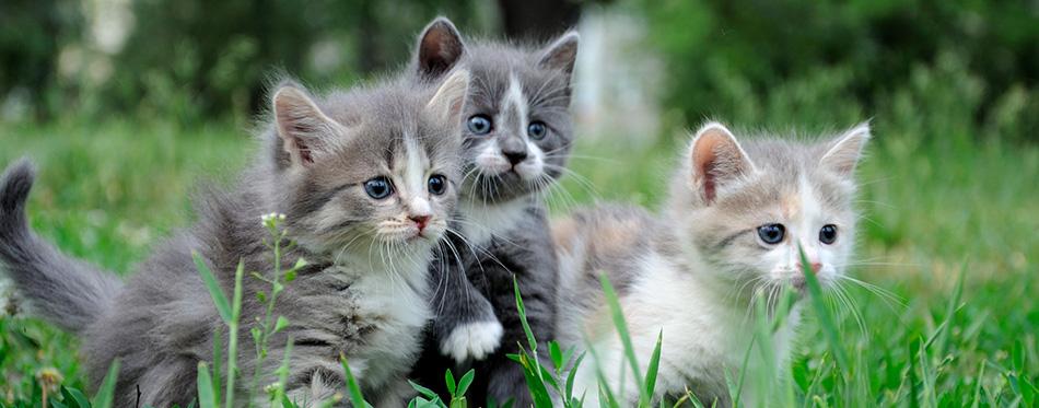 Little fluffy kittens playing