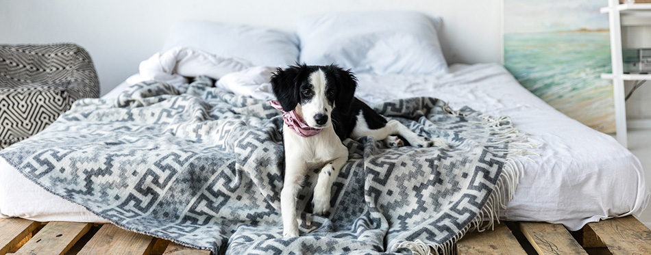 Little puppy lying on bed
