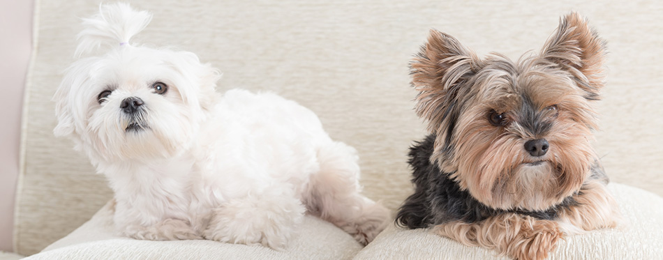 Maltese and Yorkie