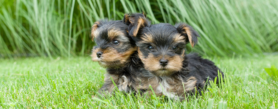 Morkie puppies
