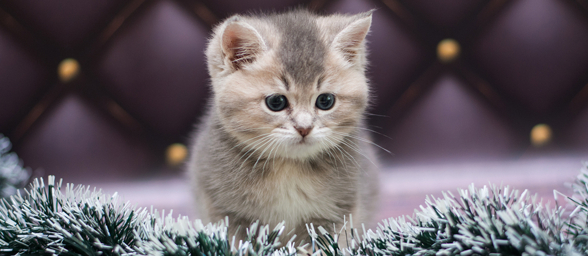 Munchkin Cat Cat Breed Information Characteristics And Facts Pet Side
