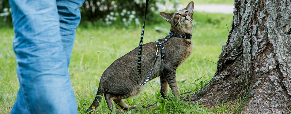 Oriental Cat on a leash