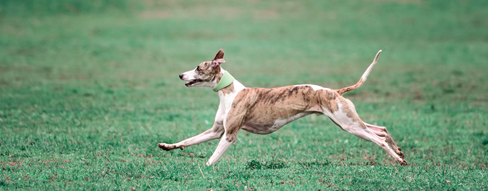 Picture of a fast dog running