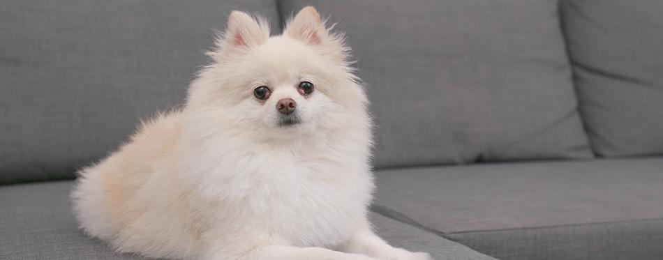 Pomeranian dog sitting on the sofa
