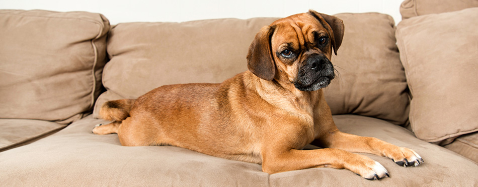 Puggle dog lying on the sofa