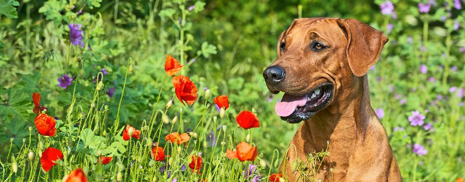 Rhodesian ridgeback puppy dog in a field of flowers