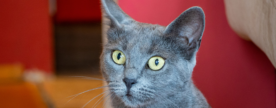 Russian blue cat sitting in near red wall