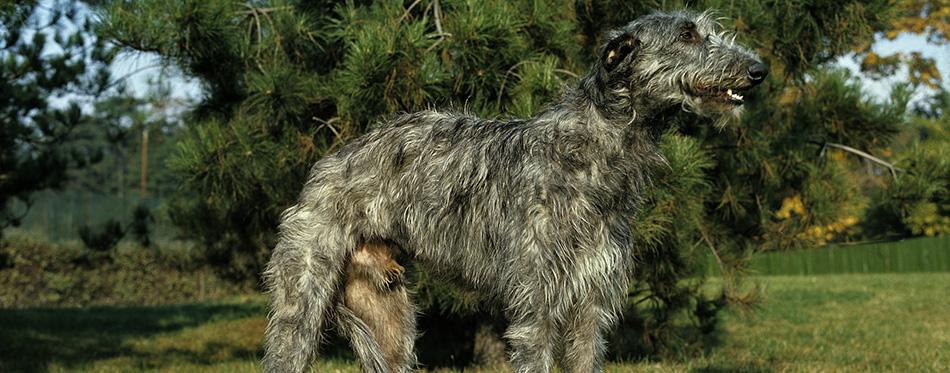 Scottish Deerhound Dog, Male