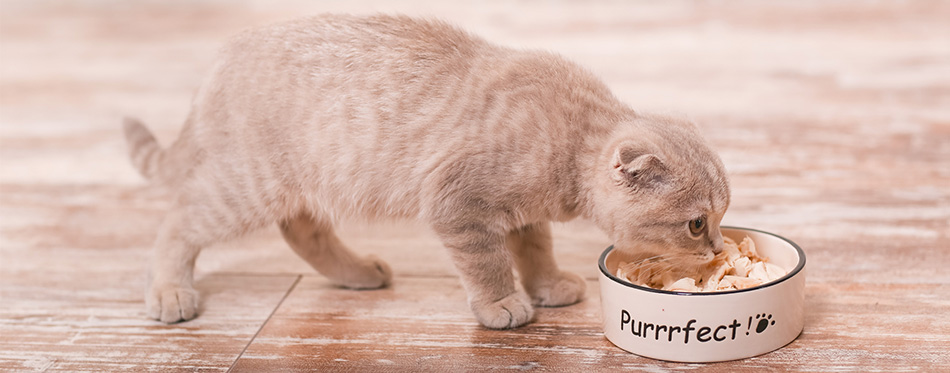 Scottish fold cat and bowl of food
