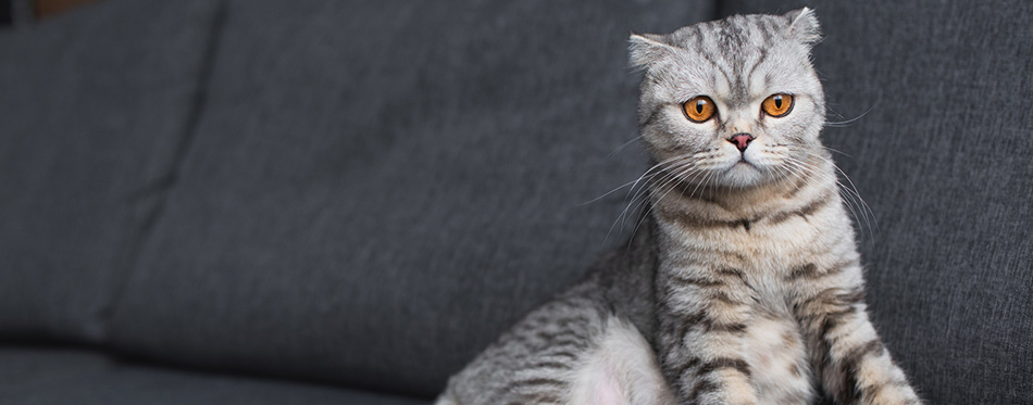 Scottish fold cat sitting on couch in living room