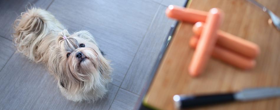Shih tzu dog standing in kitchen
