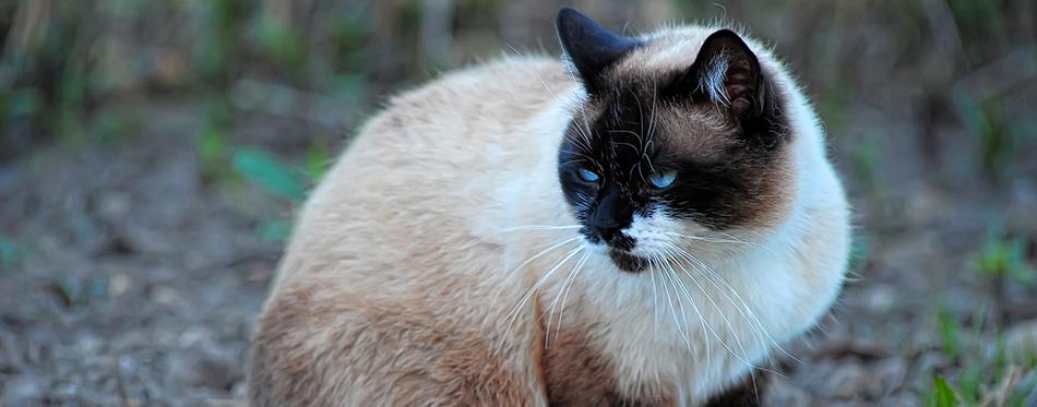 Siamese Snowshoe cat on green grass