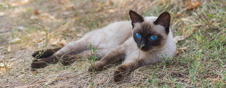 Siamese cat lying on the grass