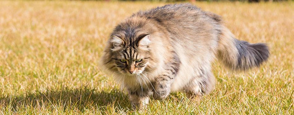 Siberian cat in a garden