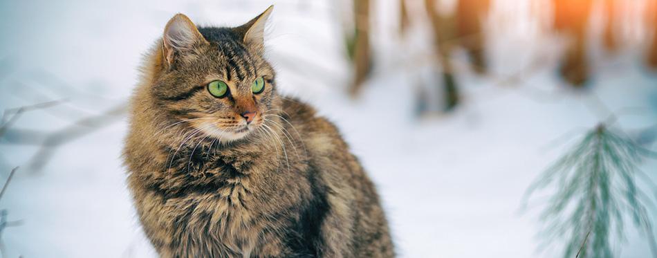 Siberian cat in forest