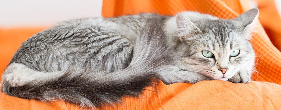 Siberian cat lying