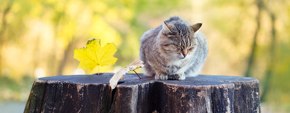 Siberian cat sitting at stump