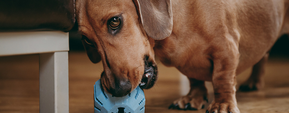 Smooth brown miniature dachshund playing with a rubber toy on the floor at home. - stock image