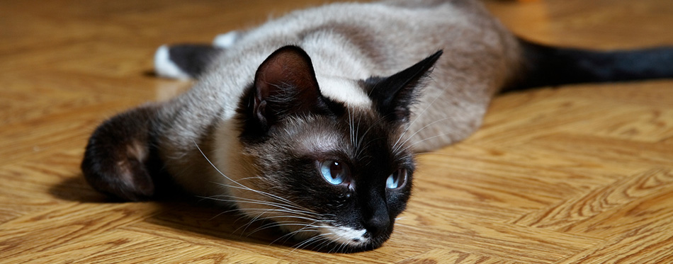 Snowshoe cat laying on the floor