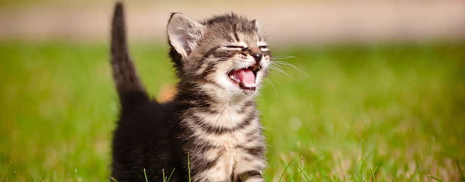 Tabby kitten outdoors meowing