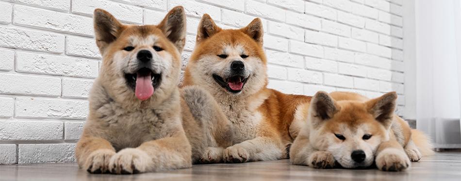 Three Akita dogs