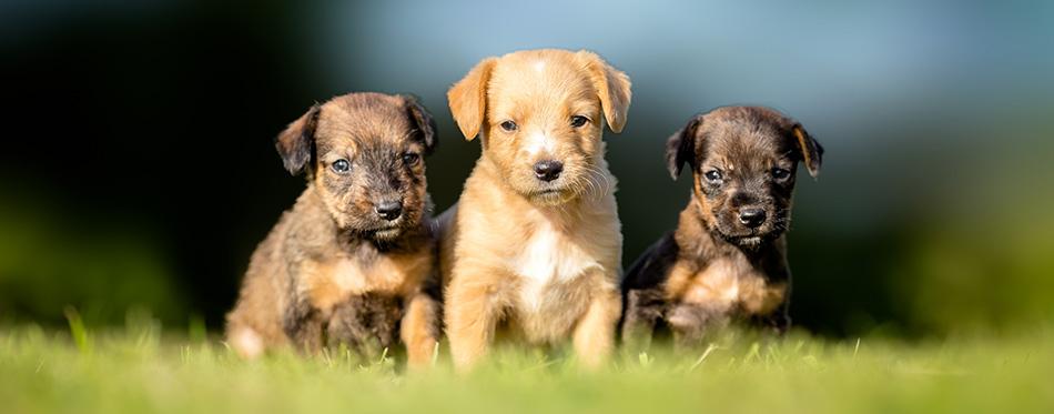 Three small puppies on green grass