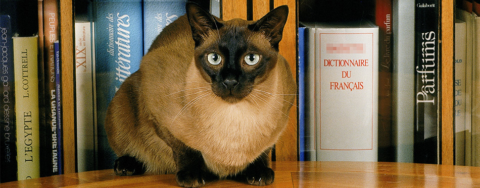 Tonkinese cat sitting in front of books