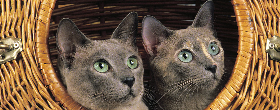 Tonkinese cats in basket