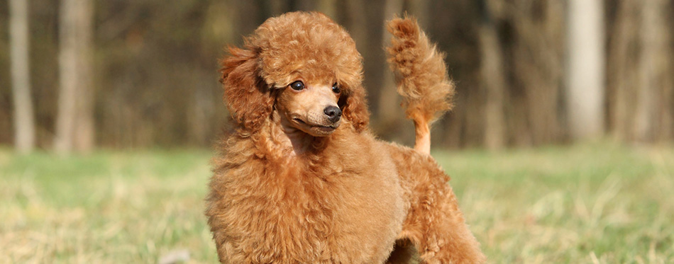 Toy poodle puppy portrait (outdoor)