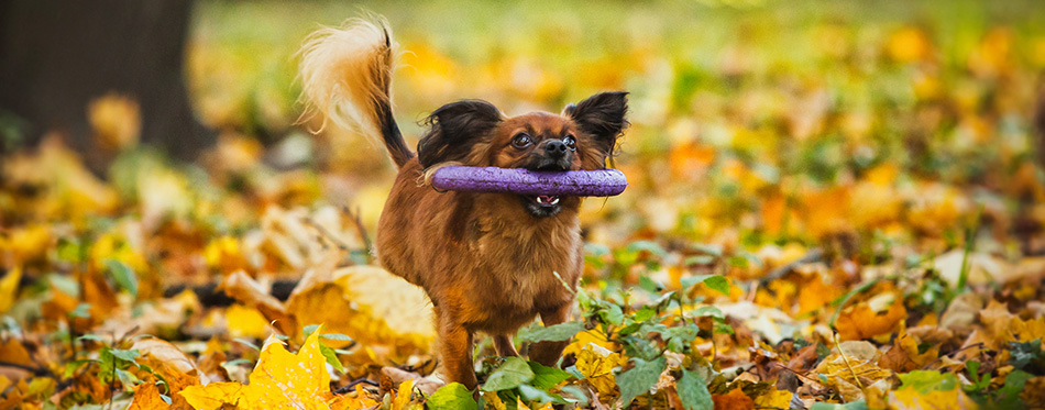Toy terrier dog in the autumn park